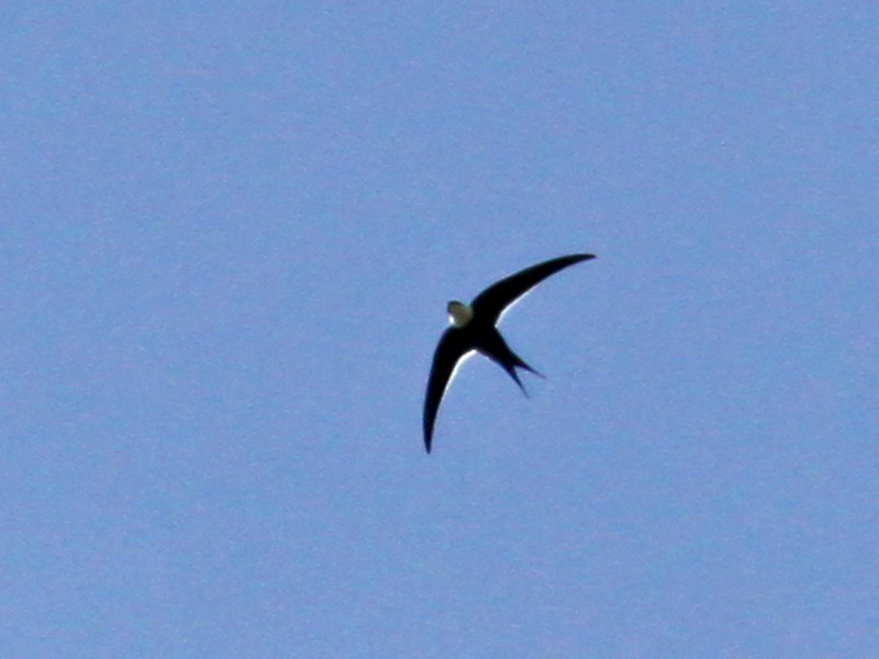 Great Swallow-tailed Swift - Carlos Funes