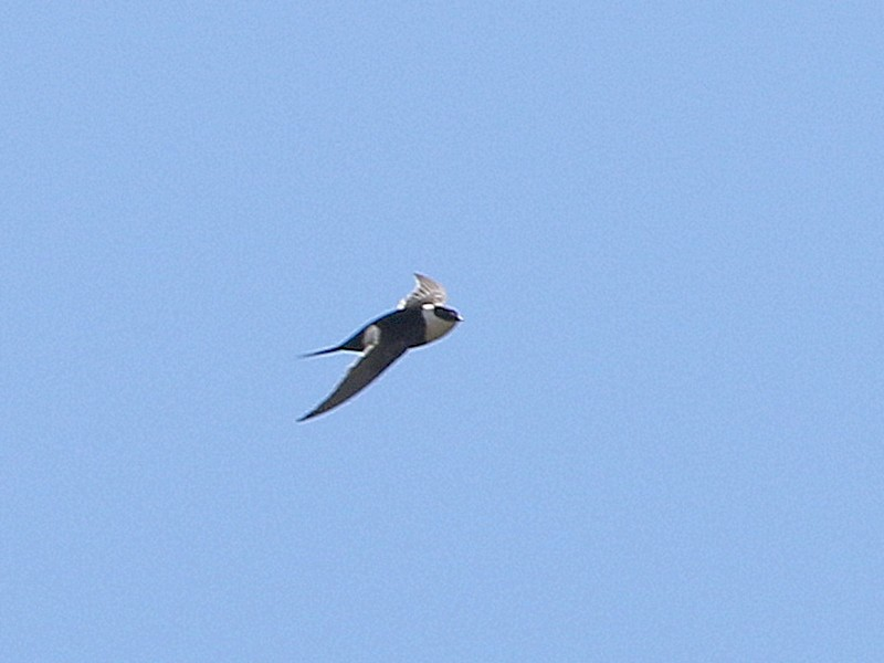 Great Swallow-tailed Swift - Per Smith