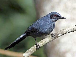 - Blue Mockingbird