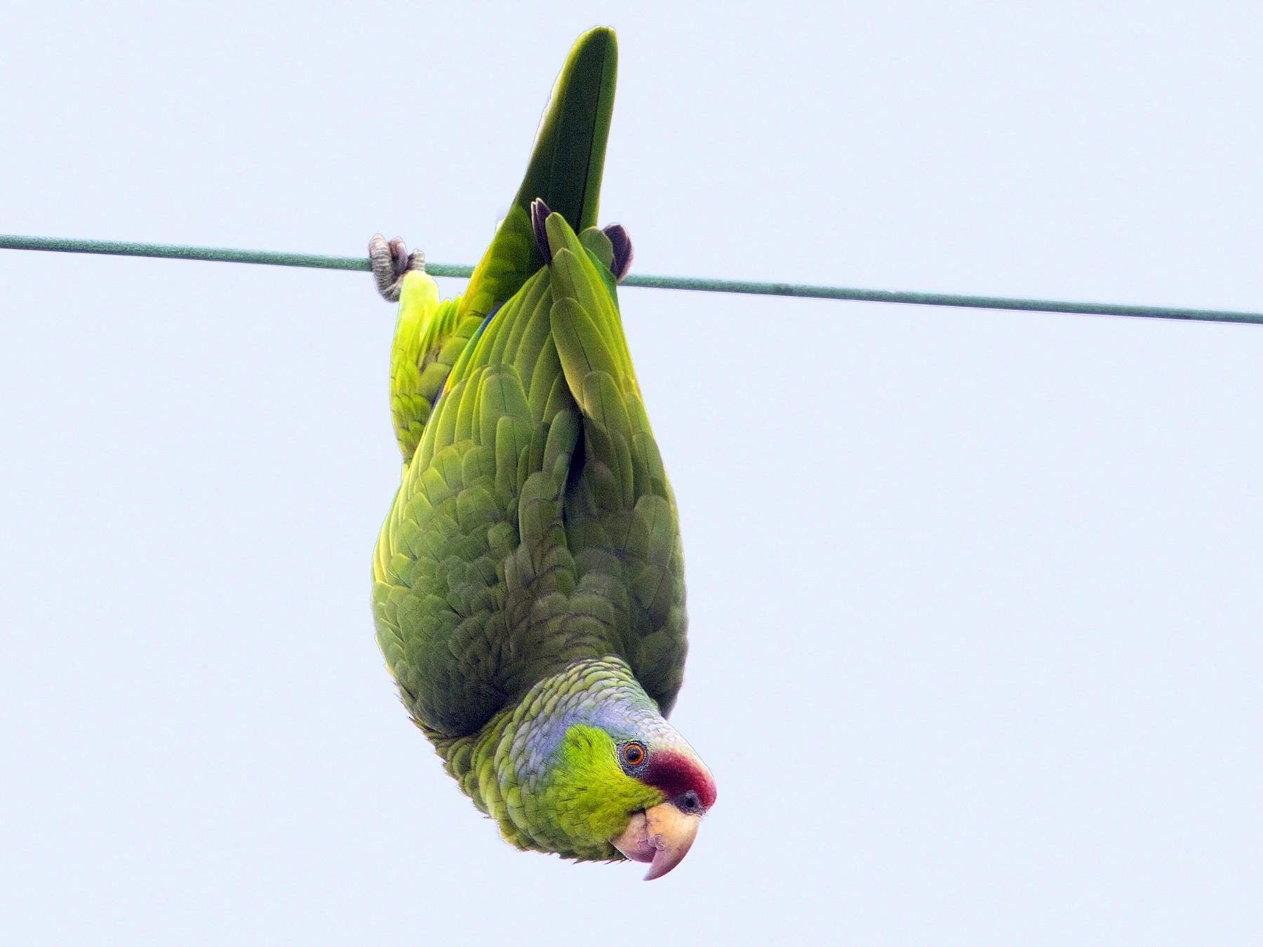 Lilac-crowned Parrot - Bradley Hacker
