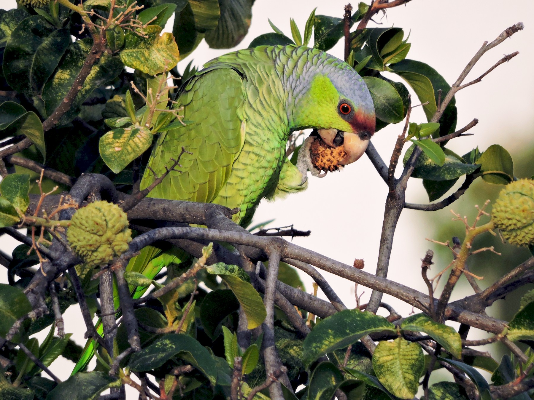 Lilac-crowned Parrot - Yvonne Burch-Hartley