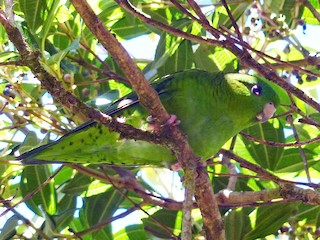 - Barred Parakeet