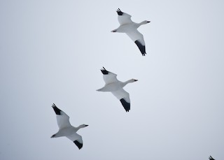 Snow Goose, ML42496571