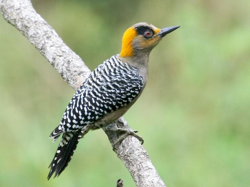 Golden-cheeked Woodpecker - Brad Dawson