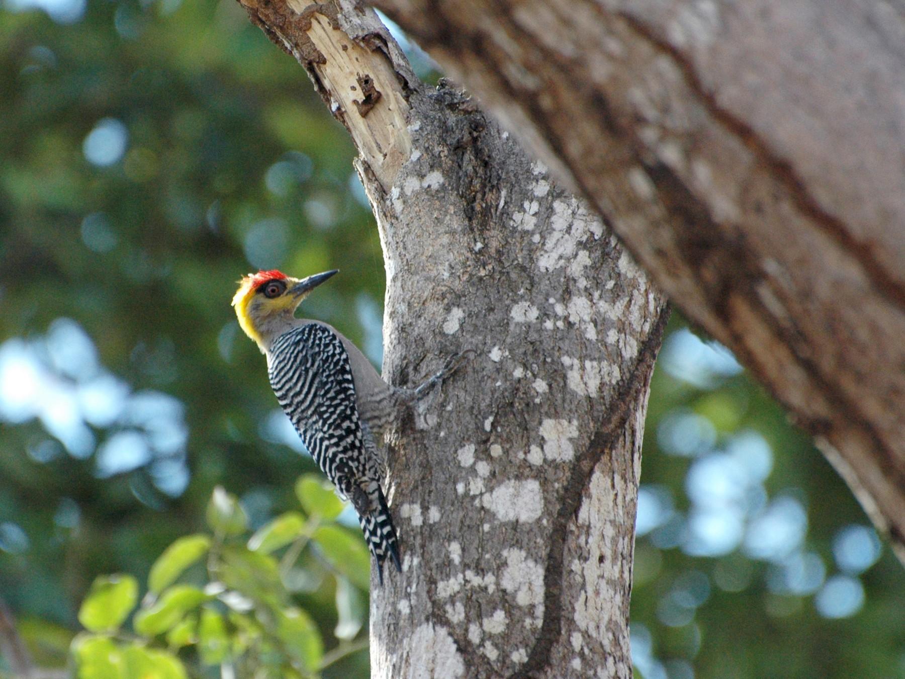 Golden-cheeked Woodpecker - Philippe Bigué