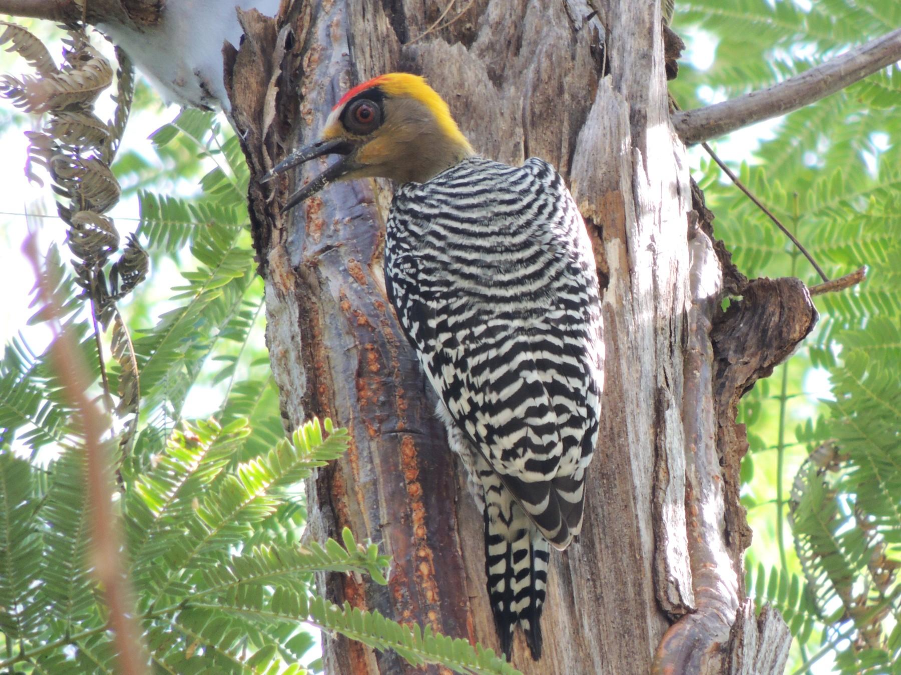 Golden-cheeked Woodpecker - Pato Degante