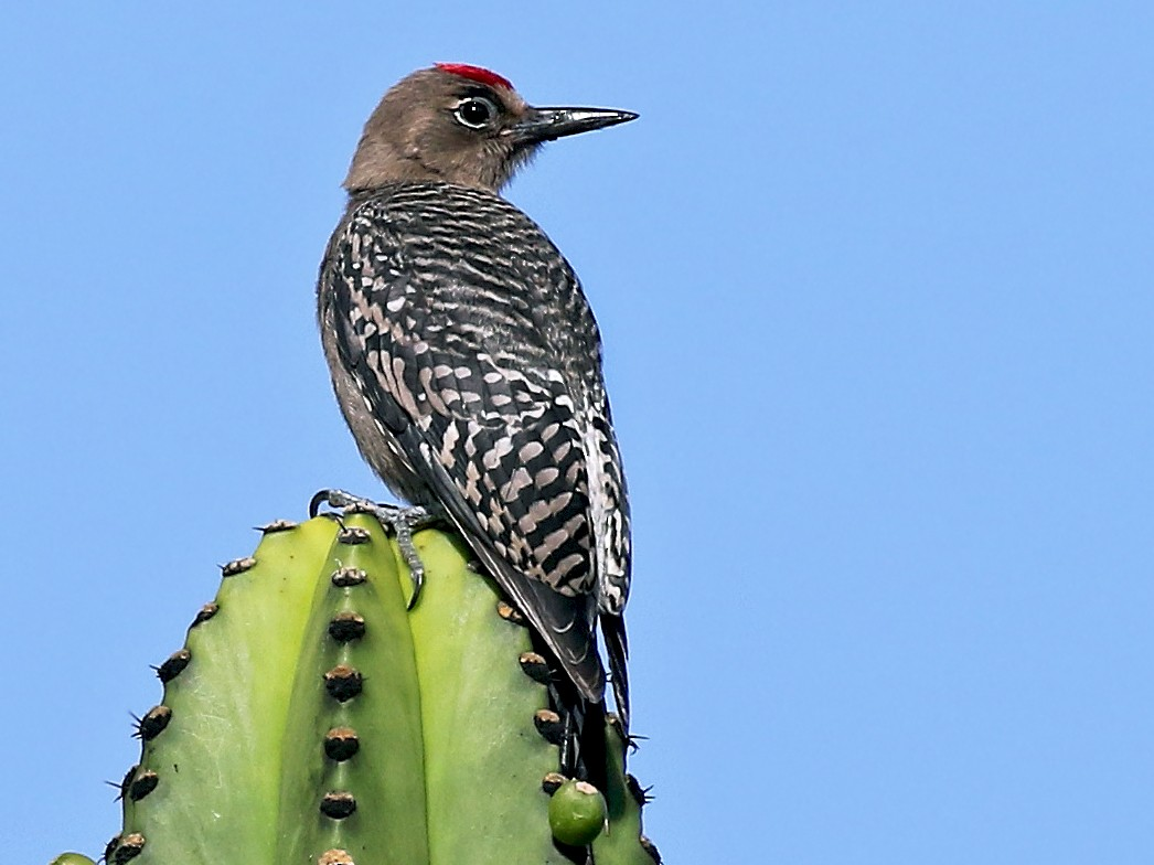 Gray-breasted Woodpecker - Andrew Spencer
