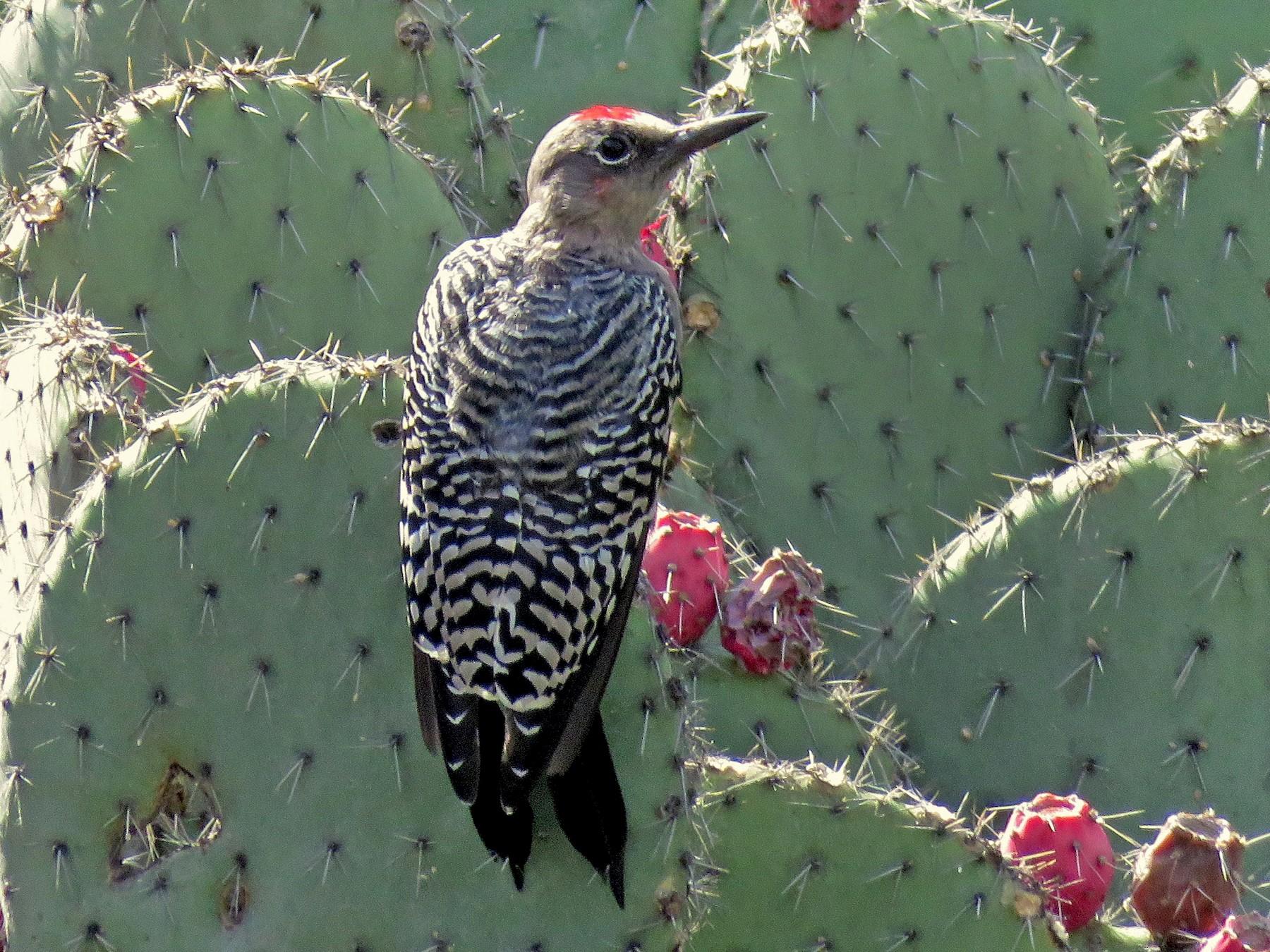 Gray-breasted Woodpecker - Ariadna Tobon