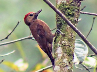 - Smoky-brown Woodpecker