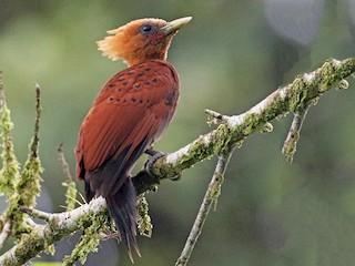 - Chestnut-colored Woodpecker