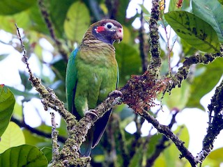 - Brown-hooded Parrot