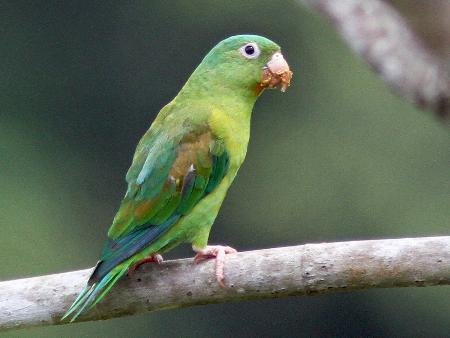 Orange-chinned Parakeet - Larry Therrien