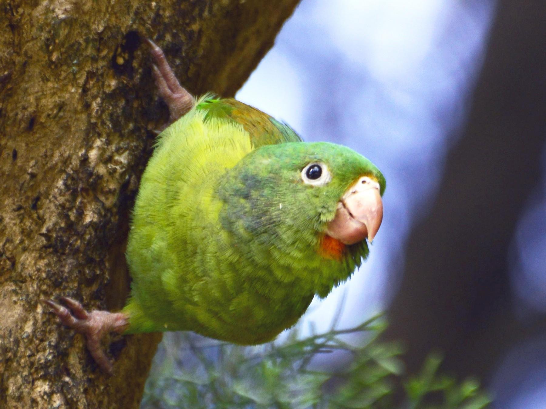Orange-chinned Parakeet - Daniel Martínez
