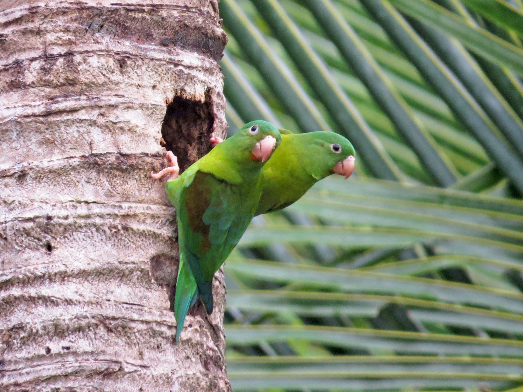 Orange-chinned Parakeet - kenneth reyes