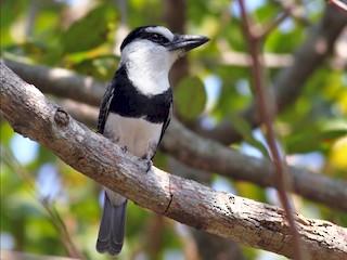 - White-necked Puffbird