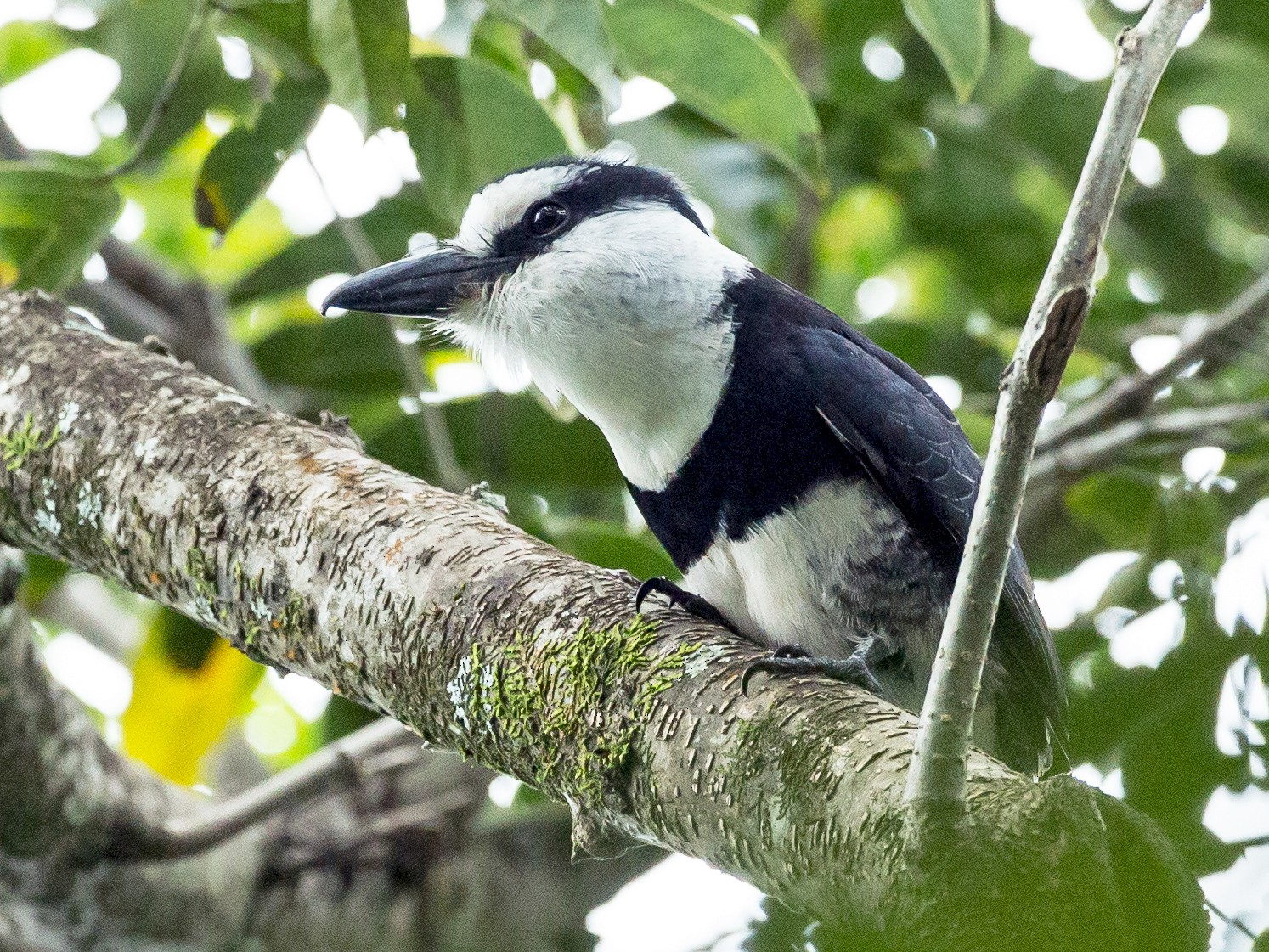 White-necked Puffbird - Ian Gardner