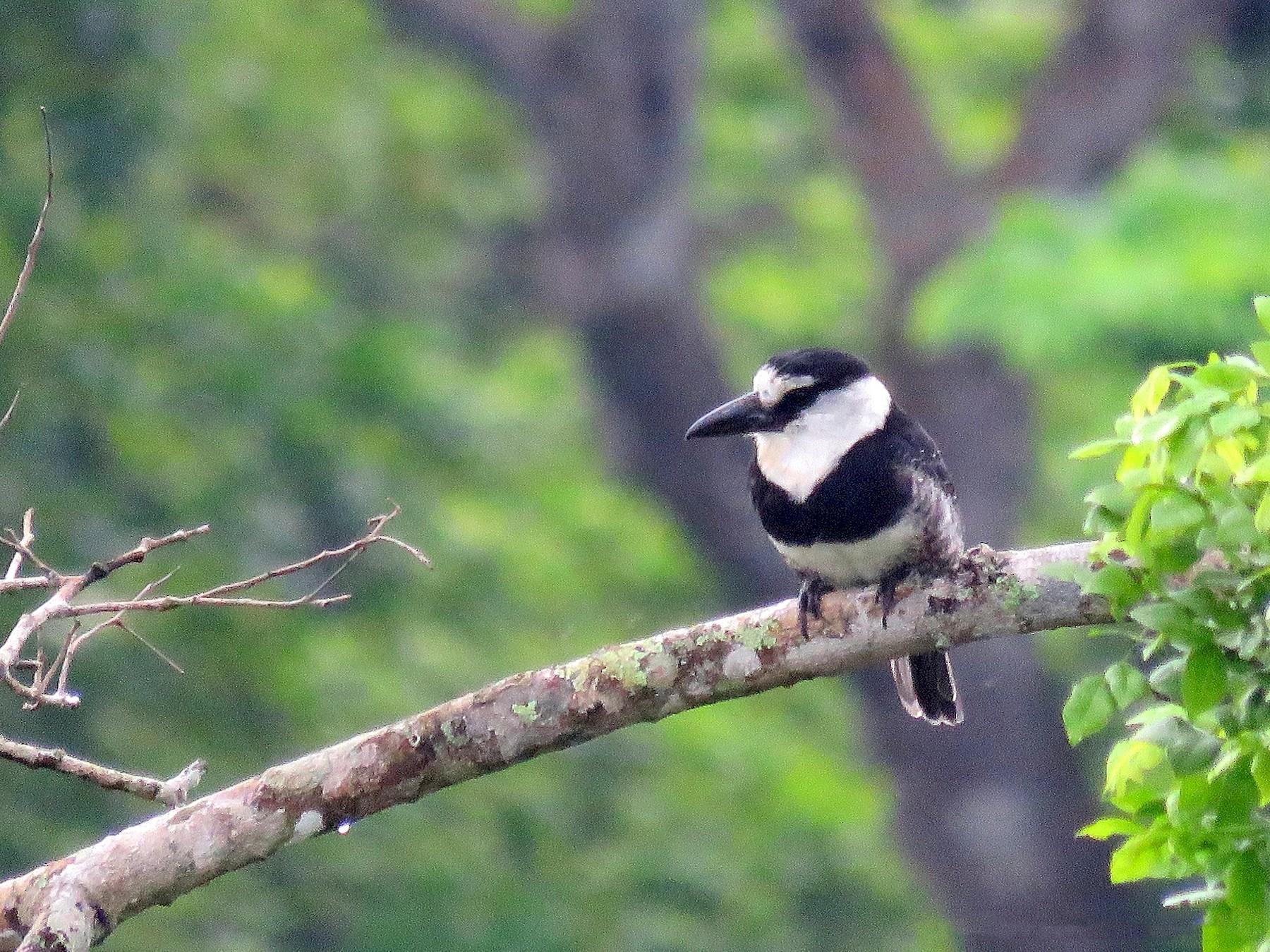 White-necked Puffbird - Rolando Jordan