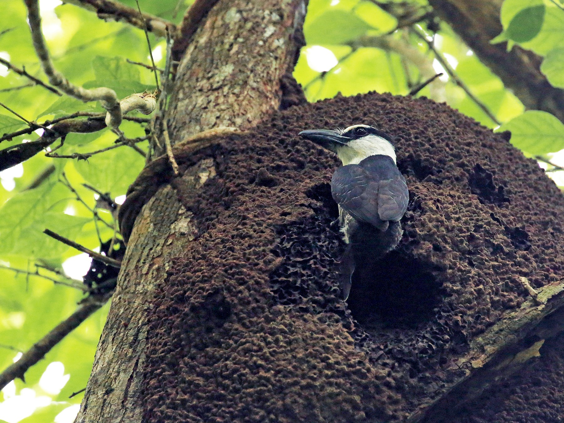 White-necked Puffbird - Tim Lenz