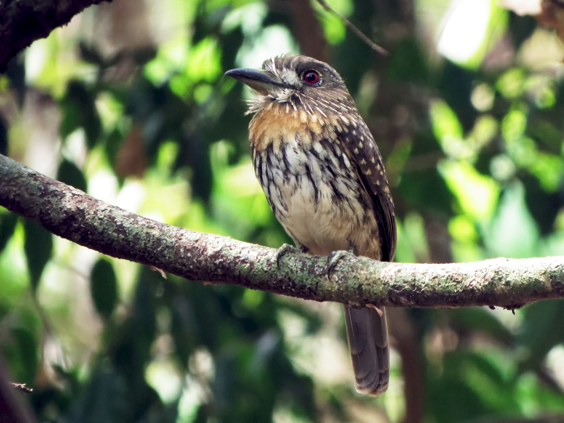 White-whiskered Puffbird - Stephen McCullers