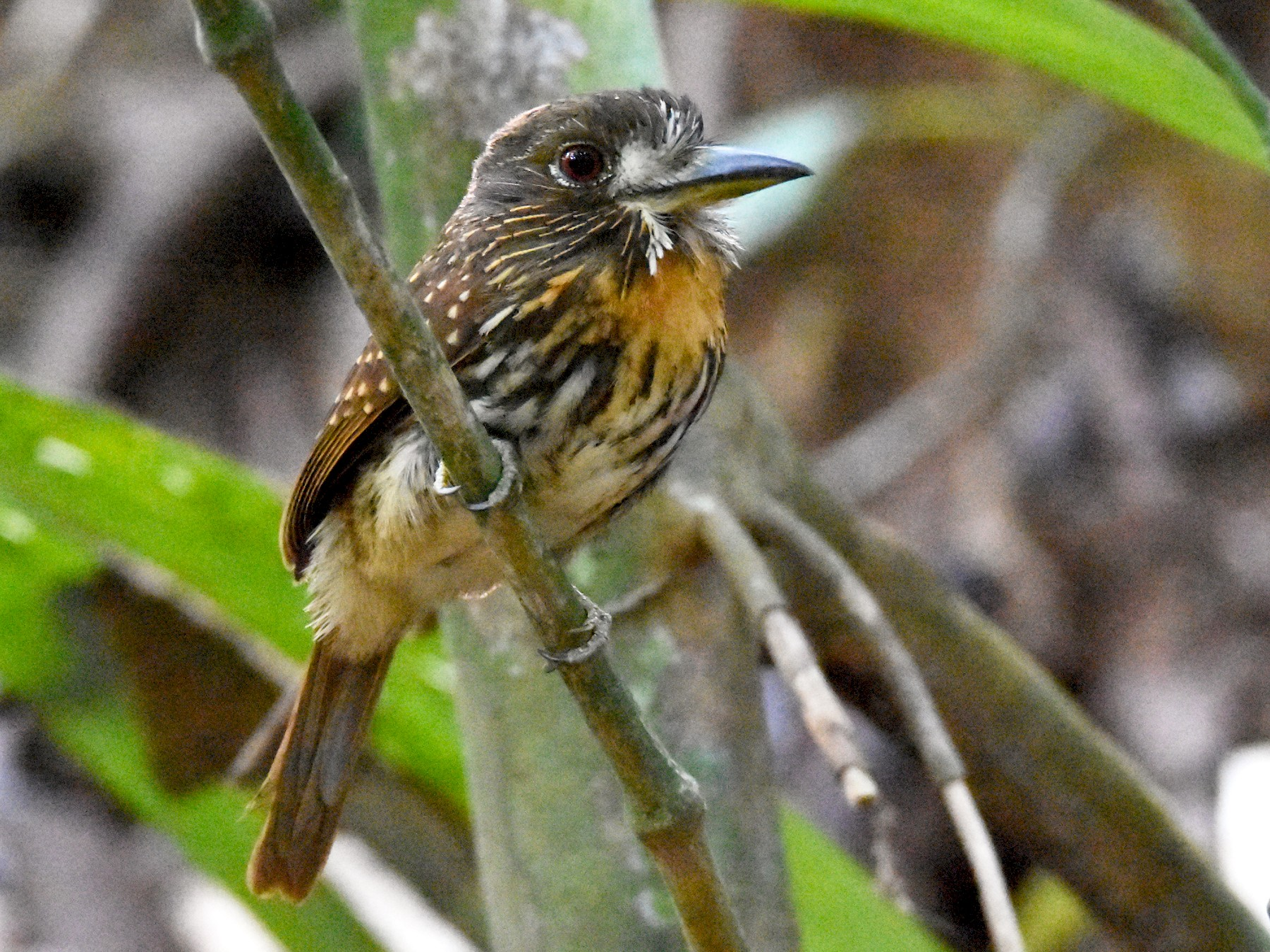 White-whiskered Puffbird - Luke Berg