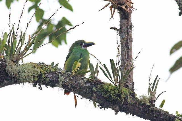 Southern Emerald-Toucanet