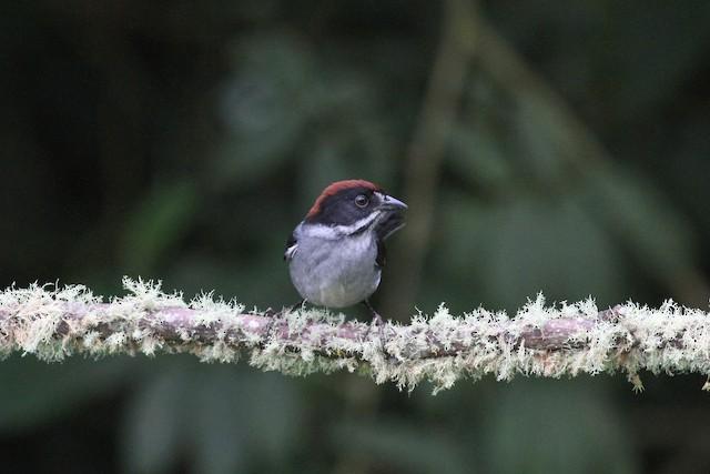 Slaty Brushfinch