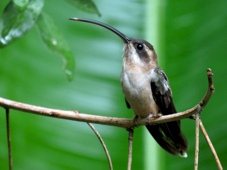 Long-billed Hermit - Seth Inman