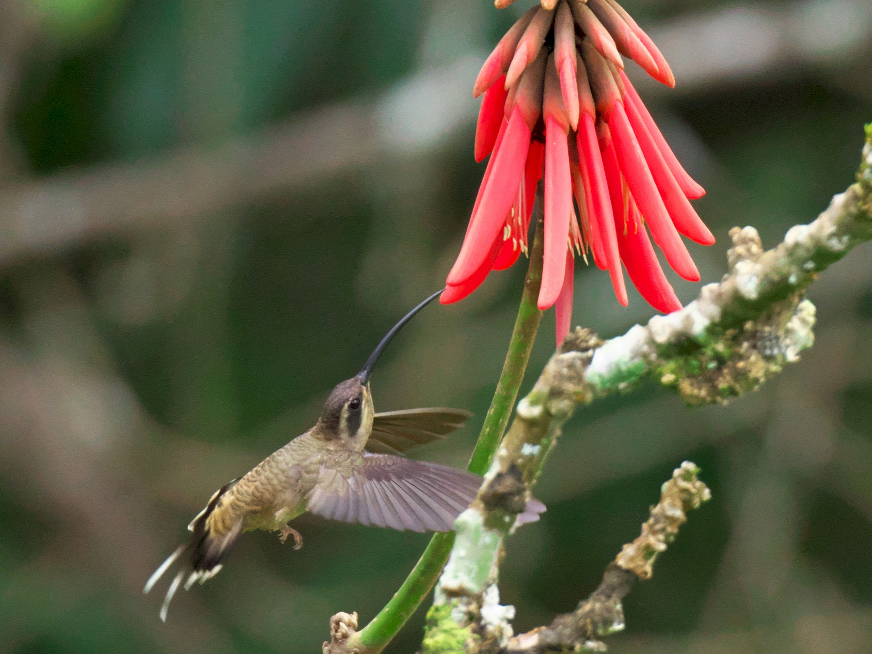 Long-billed Hermit - Paul Tavares