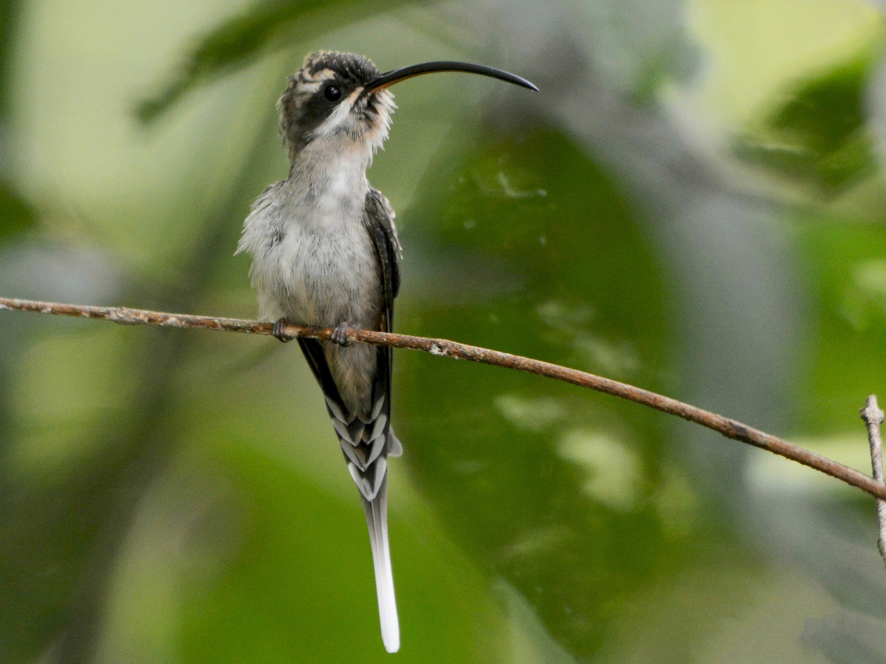 Long-billed Hermit - Maria Jose Lou