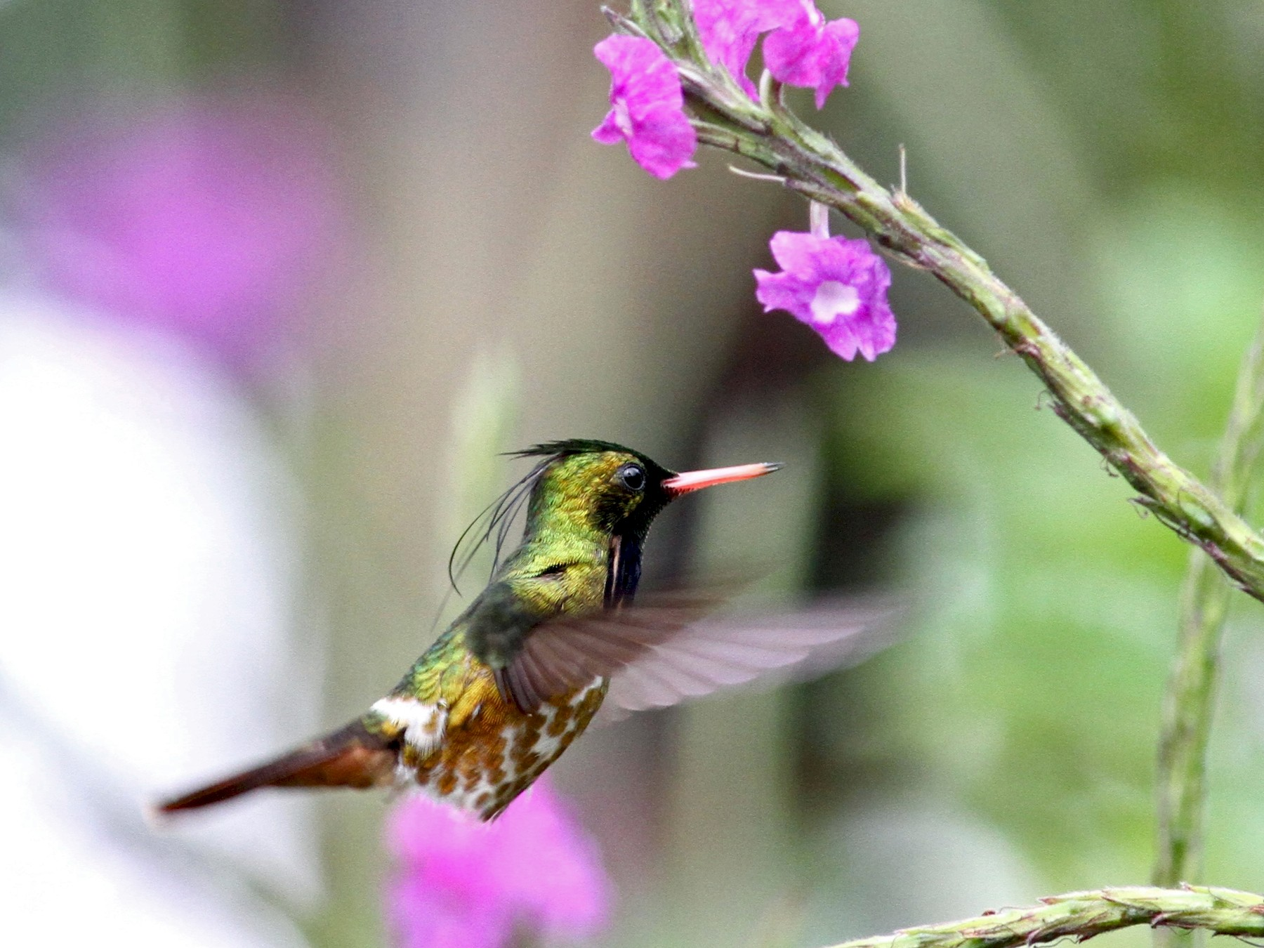 Black-crested Coquette - Georges Duriaux