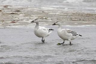 Snow Goose, ML42538651