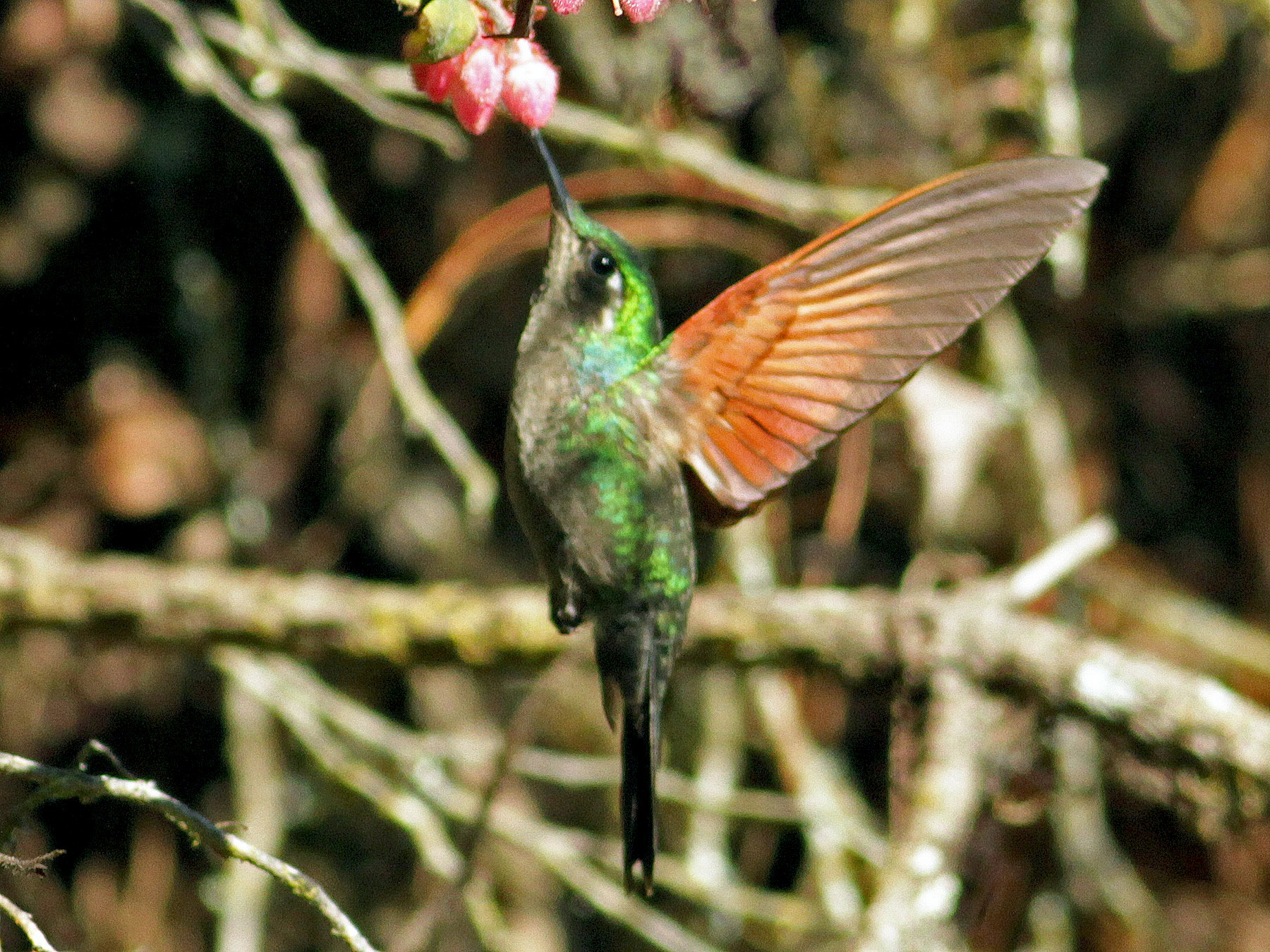Garnet-throated Hummingbird - Ian Davies