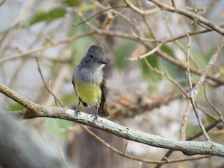 - Sooty-crowned Flycatcher