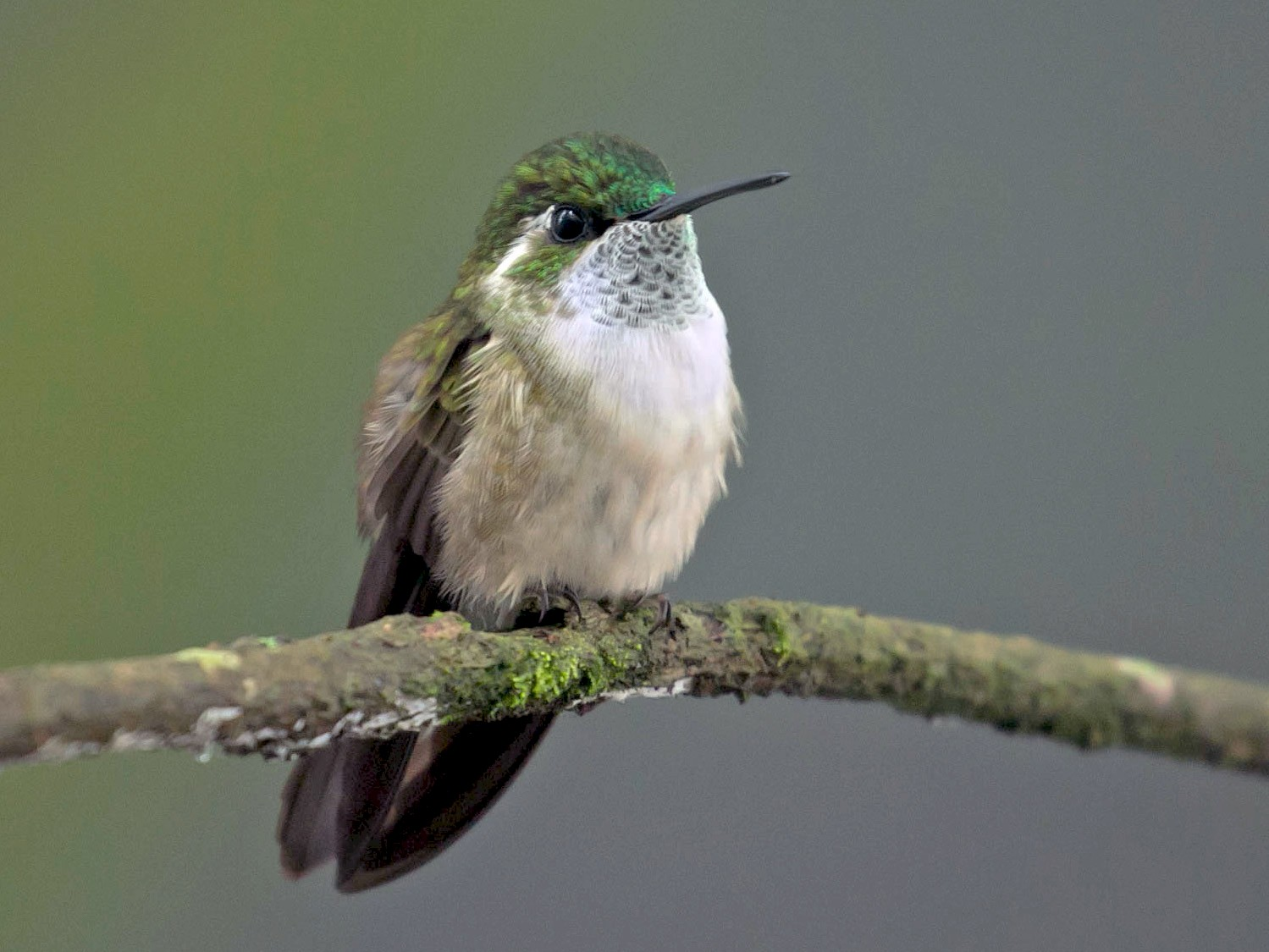 Green-throated Mountain-gem - Patrick VanThull