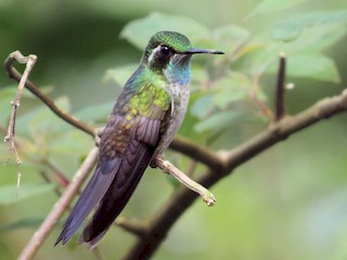 - Green-throated Mountain-gem