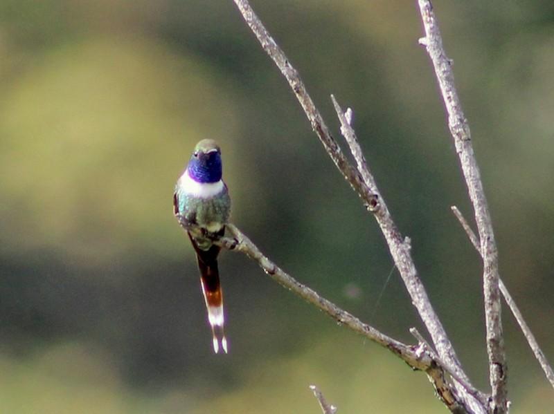 Sparkling-tailed Hummingbird - Julio Alejandro Alvarez Ruiz
