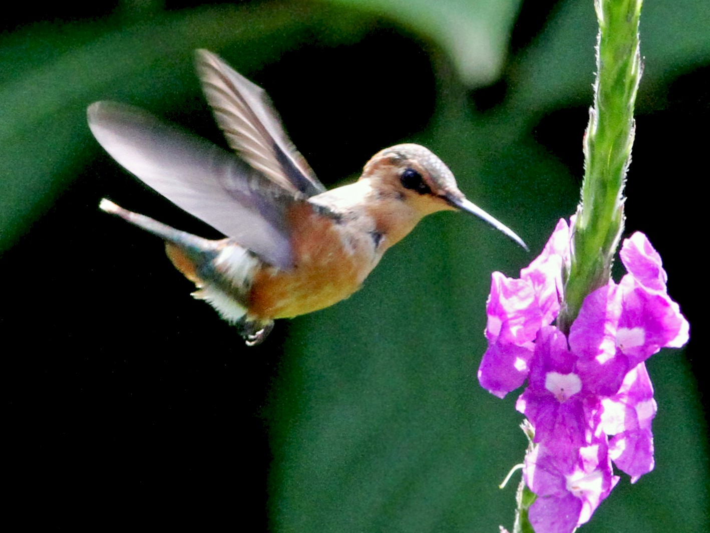 Sparkling-tailed Hummingbird - Georges Duriaux