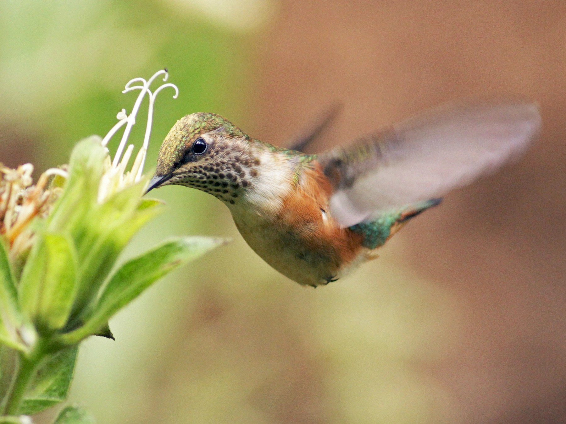 Bumblebee Hummingbird - Ian Davies