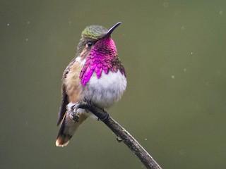 - Wine-throated Hummingbird