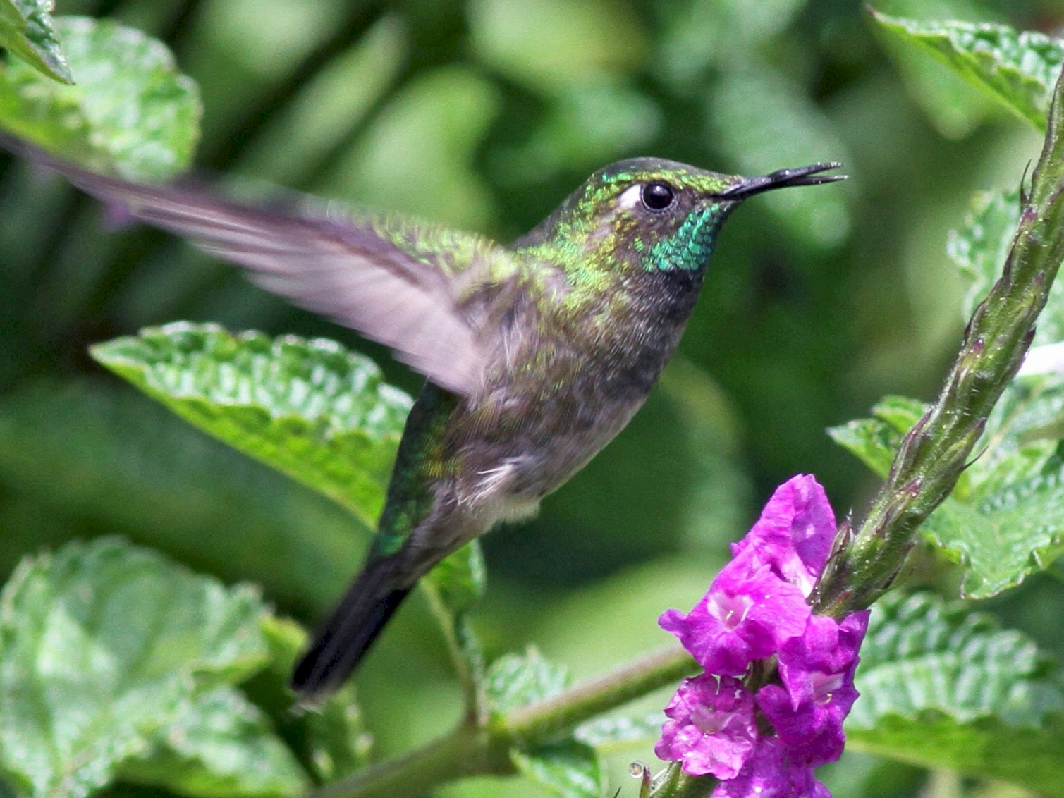 Emerald-chinned Hummingbird - Georges Duriaux