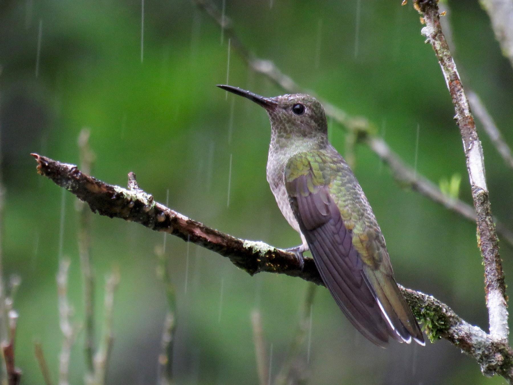 Scaly-breasted Hummingbird - John van Dort