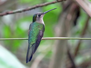 - Long-tailed Sabrewing