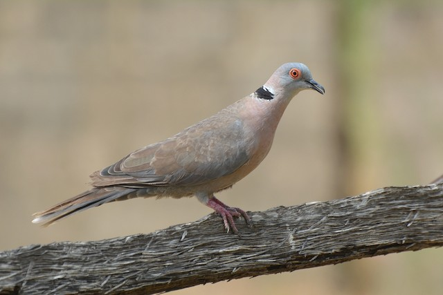 Mourning Collared-Dove