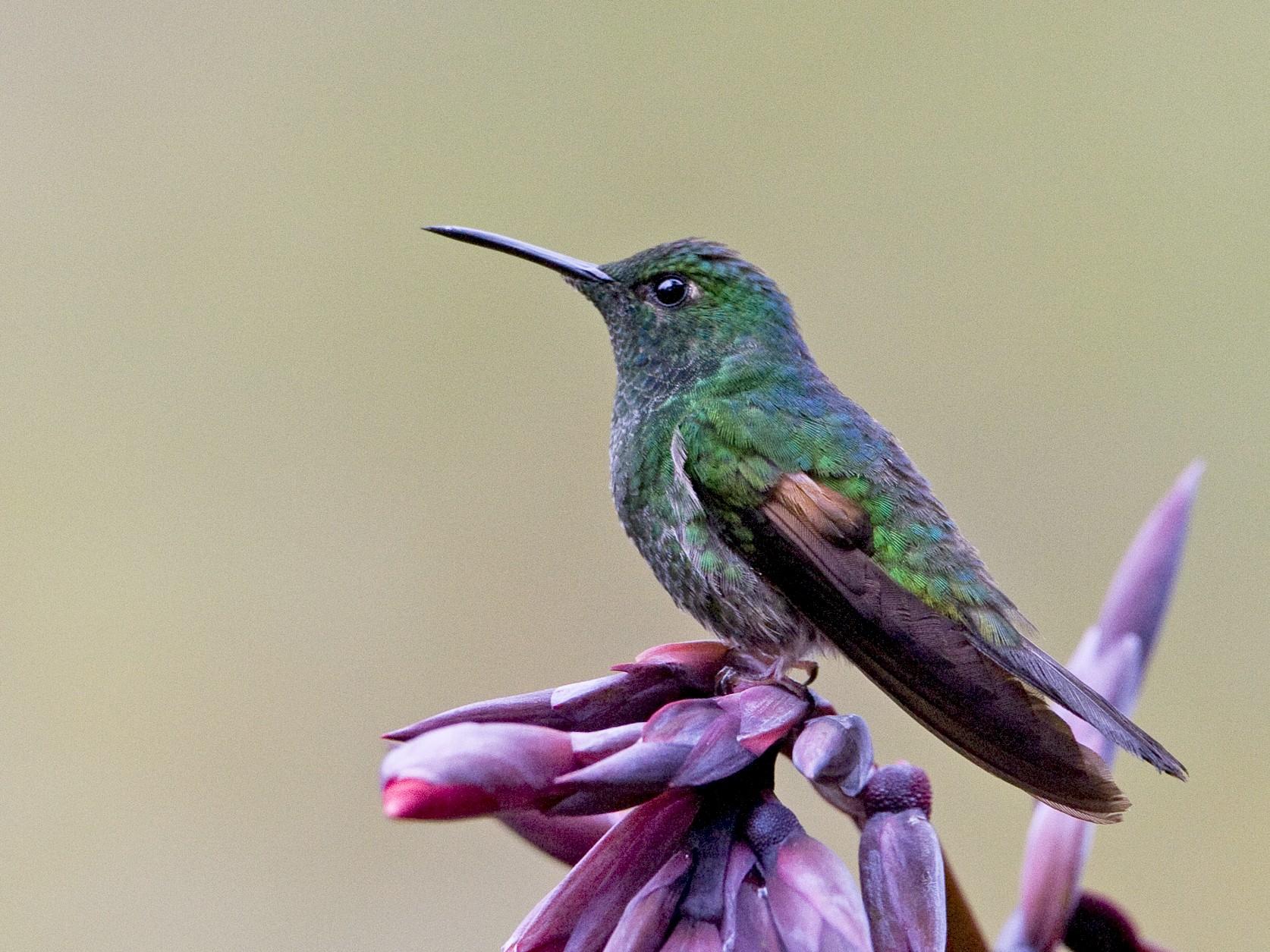 Stripe-tailed Hummingbird - Brian Sullivan
