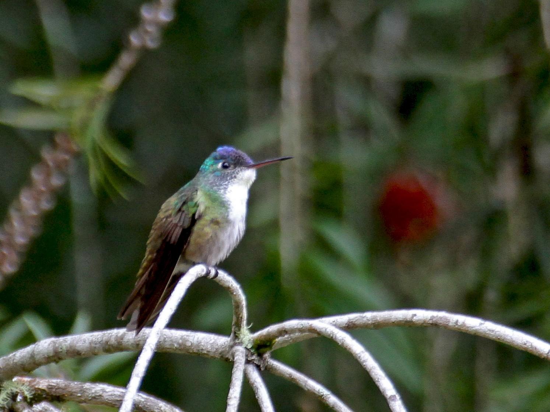 Azure-crowned Hummingbird - Carlos Funes