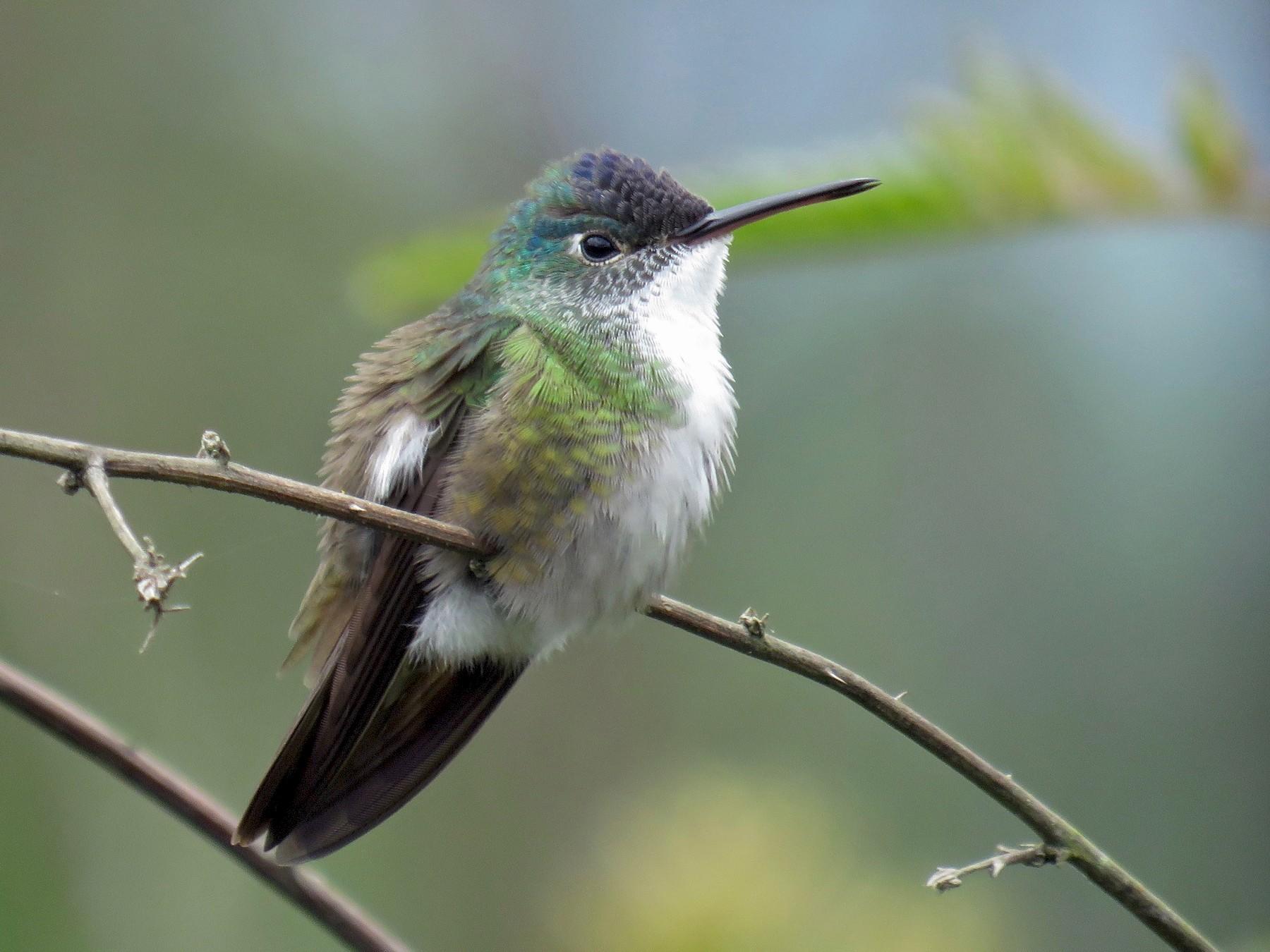 Azure-crowned Hummingbird - John van Dort