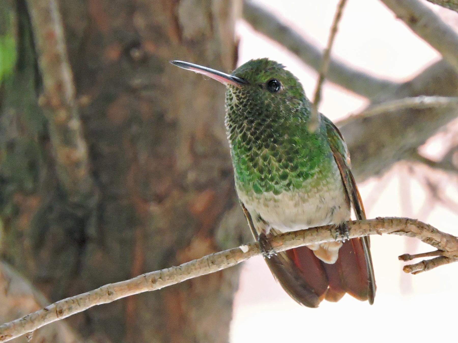 Berylline Hummingbird - Manuel Becerril González