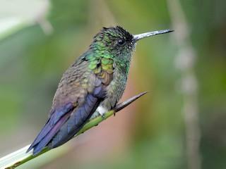 - Blue-tailed Hummingbird
