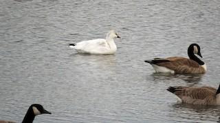 Ross's Goose, ML42598421