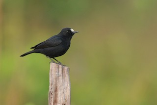 - White-fronted Black-Chat